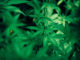 cannabis narkotika